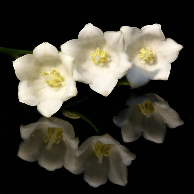 plants  flowers » lily of the valley, Beautiful flower
