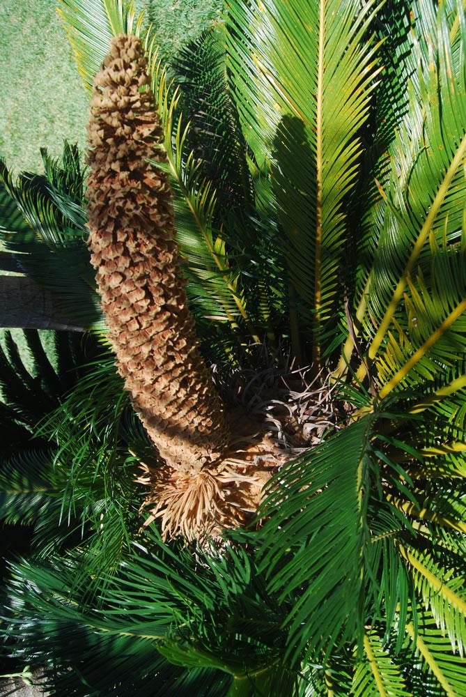 Cycas Revoluta Flower Cycas Revoluta Male Cone