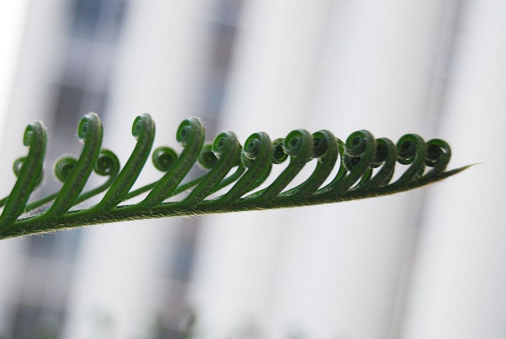 Cycas Revoluta Flower Cycas Revoluta New Leaf