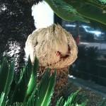 Cycas revoluta - seed forming