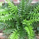 Cyrtomium falcatum Rochfordianum
