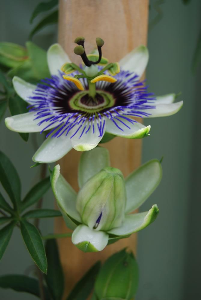 plants flowers blue passion flower. Black Bedroom Furniture Sets. Home Design Ideas