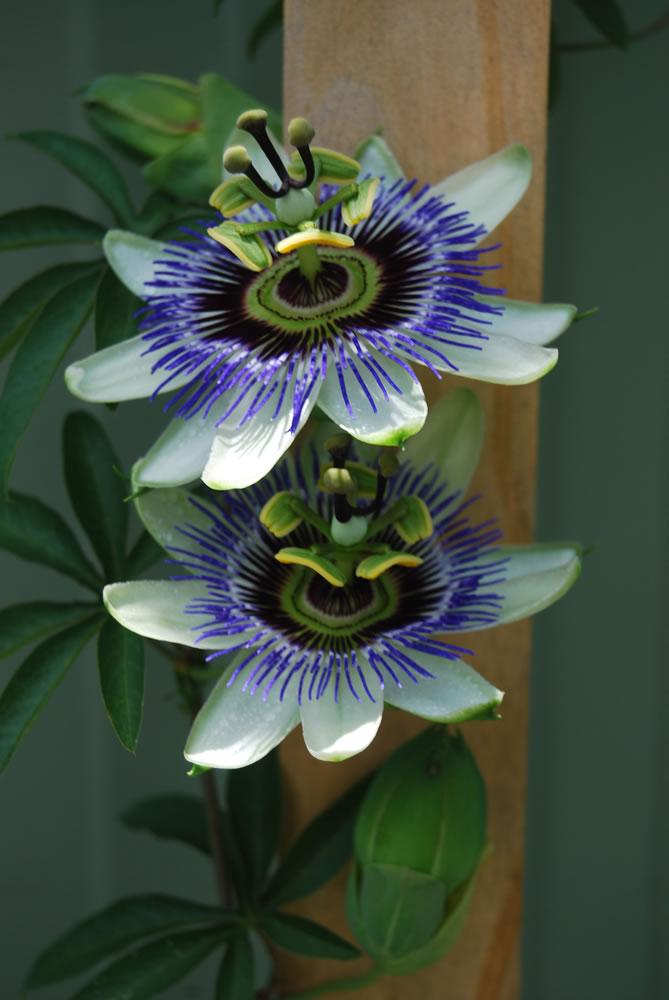 plants flowers passiflora caerulea. Black Bedroom Furniture Sets. Home Design Ideas