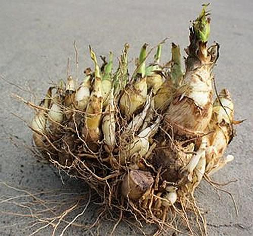 Plants & Flowers » Bulbs, Corms & Tubers