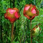 Sarracenia psittacina - flower