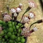Senecio rowleyanus - flowers