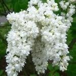 Syringa vulgaris - flowers