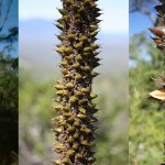 Xanthorrhoea johnsonii - flowers to seeds