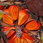 Zamia furfuracea - seeds
