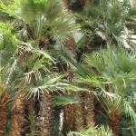 Chamaerops humilis var. arborescens