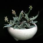 Ledebouria socialis flowers
