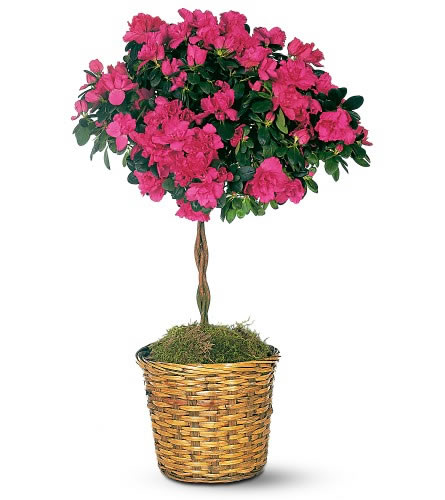 Plants flowers indian azalea for Small indoor flowering plants