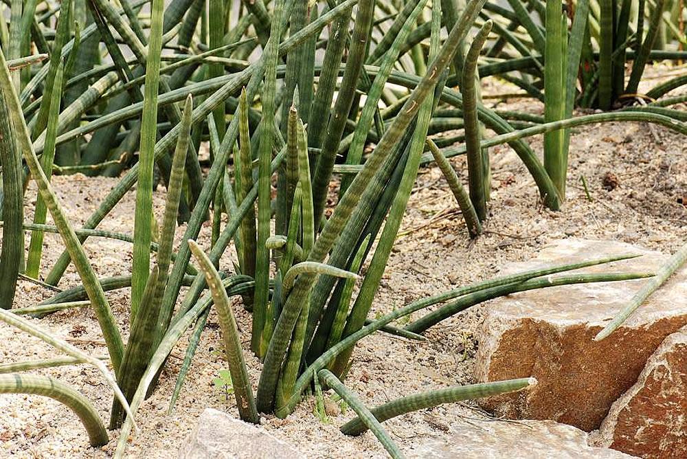 Plants & Flowers » African Spear