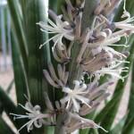 Sansevieria cylindrica flowers