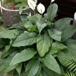 Spathiphyllum wallisii Mauna Loa