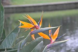 Strelitzia reginae