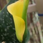 Zantedeschia elliottiana - opening flower