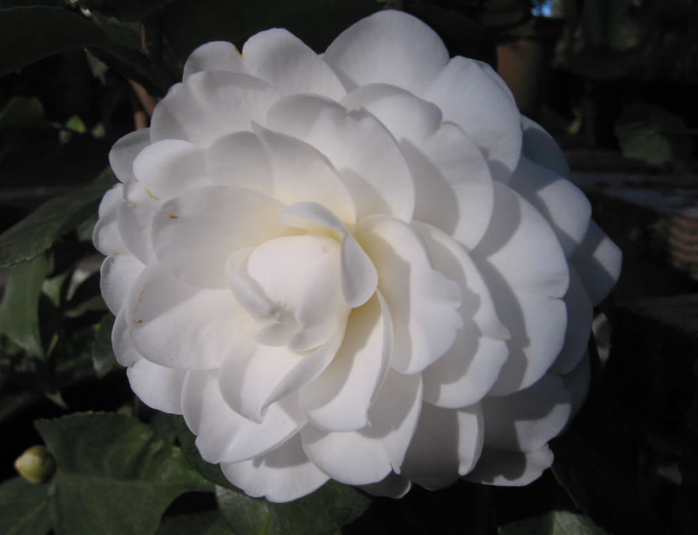 Plants Amp Flowers 187 Camellia Japonica Pink Perfection