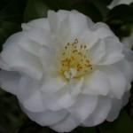 Camellia japonica Purity