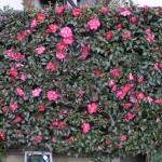 Camellia japonica - hedge