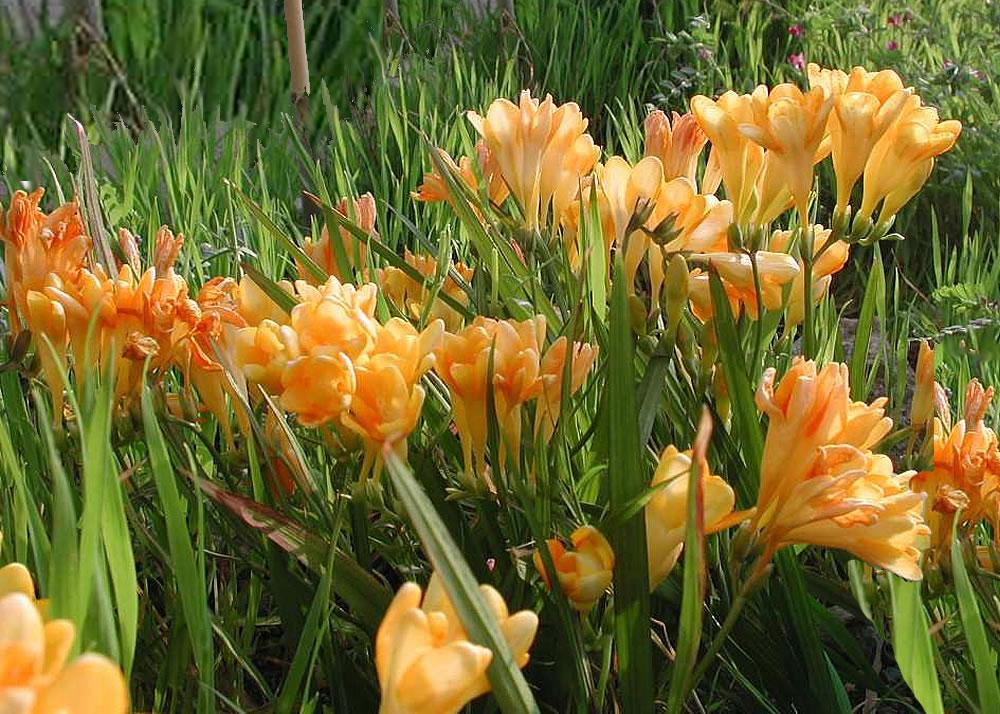 Plants Flowers Common Freesia