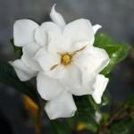 Gardenia jasminoides Belmont