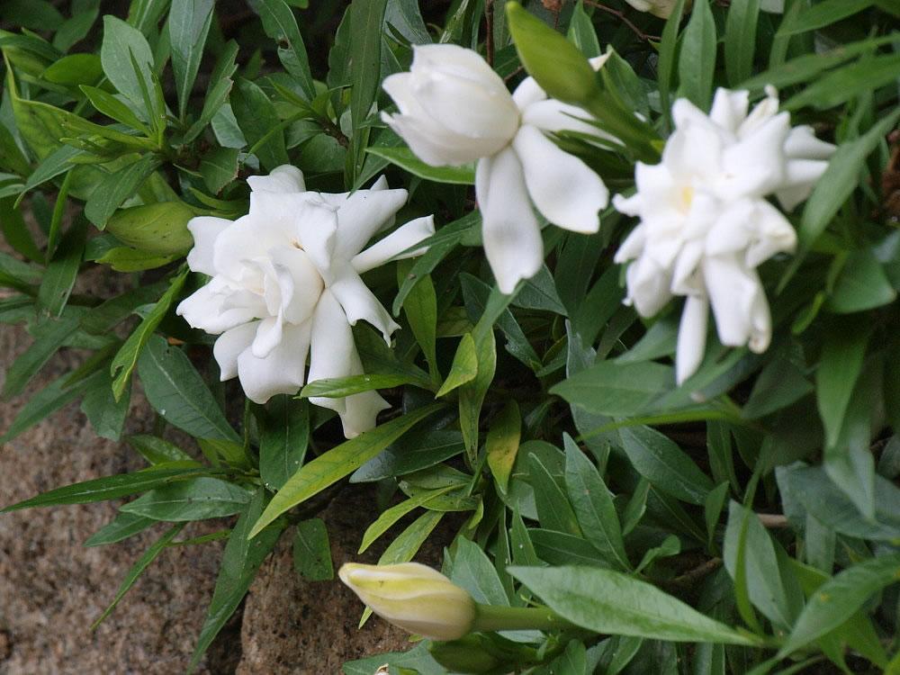 Plants \u0026 Flowers » Gardenia jasminoides Veitchii