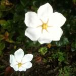 Gardenia jasminoides White Gem