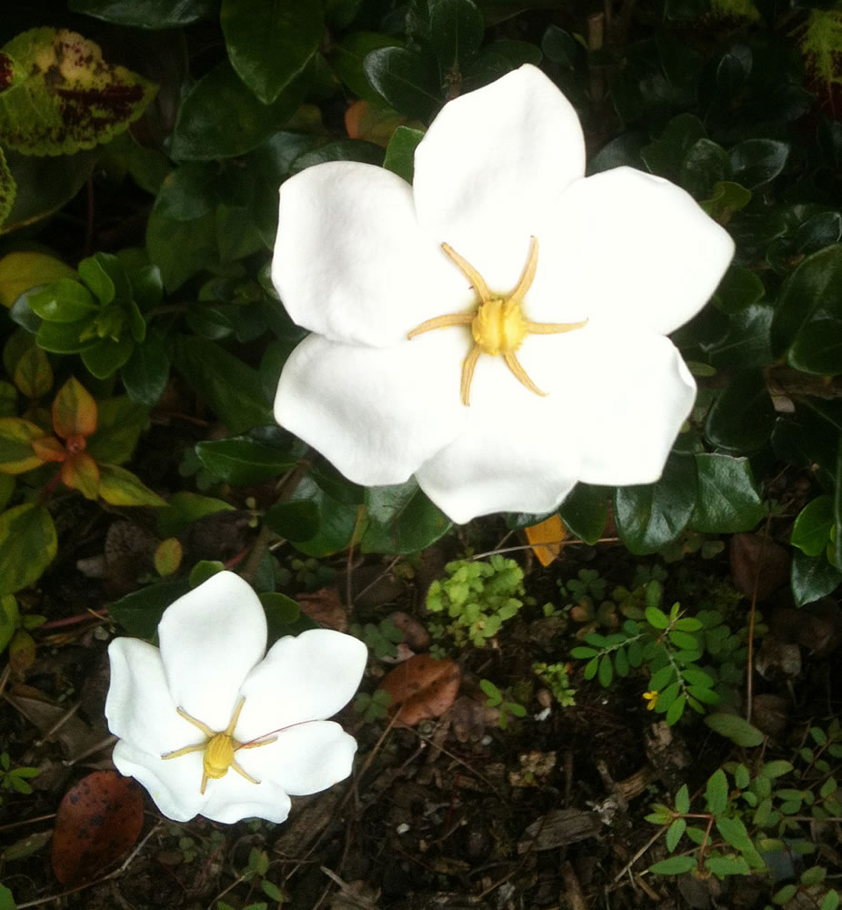 Plants flowers cape jasmine gardenia jasminoides white gem izmirmasajfo
