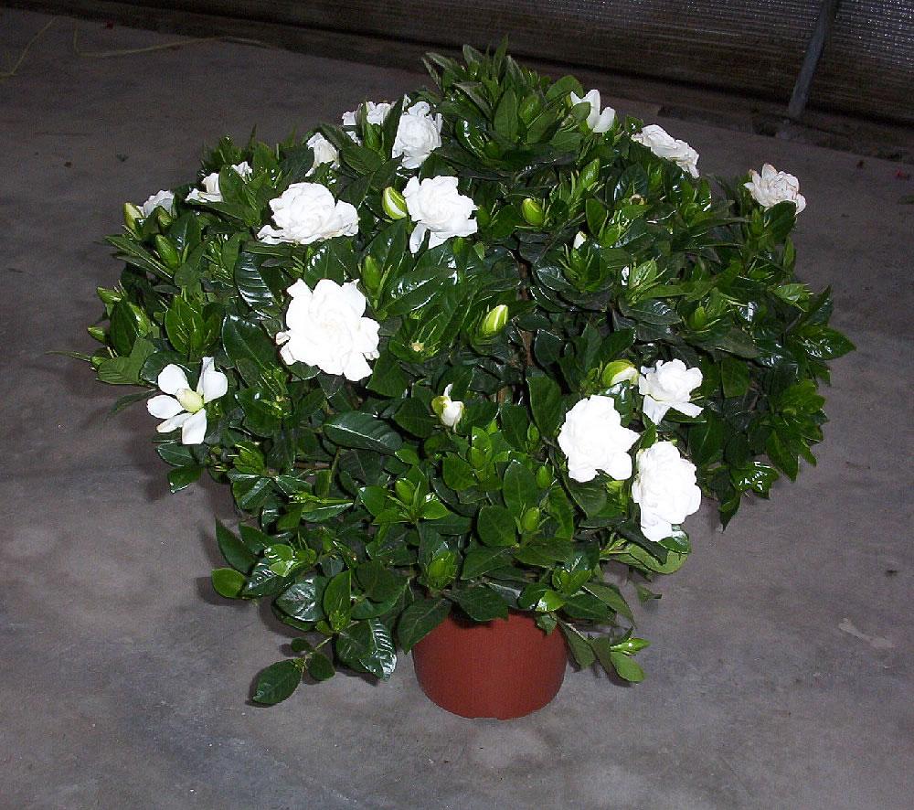 Gardenia Jasminoides In Pot
