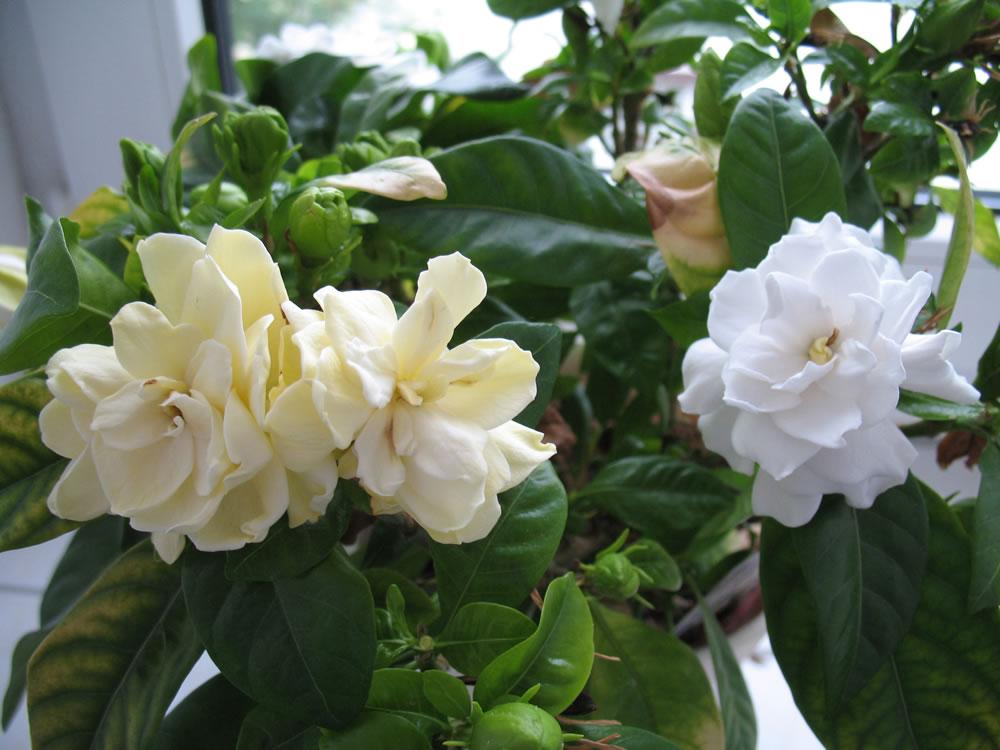 plants  flowers » cape jasmine, Beautiful flower
