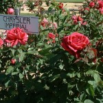 Rosa Chrysler Imperial