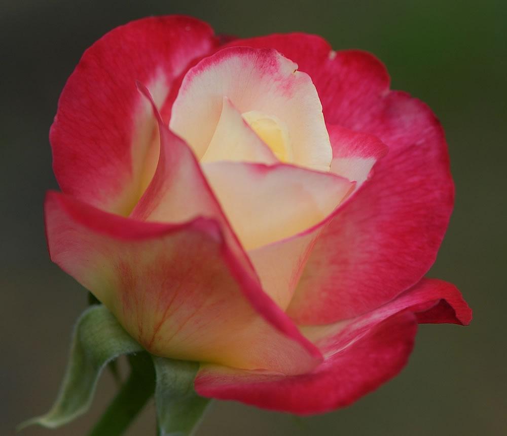 Plants Amp Flowers 187 Rosa Double Delight