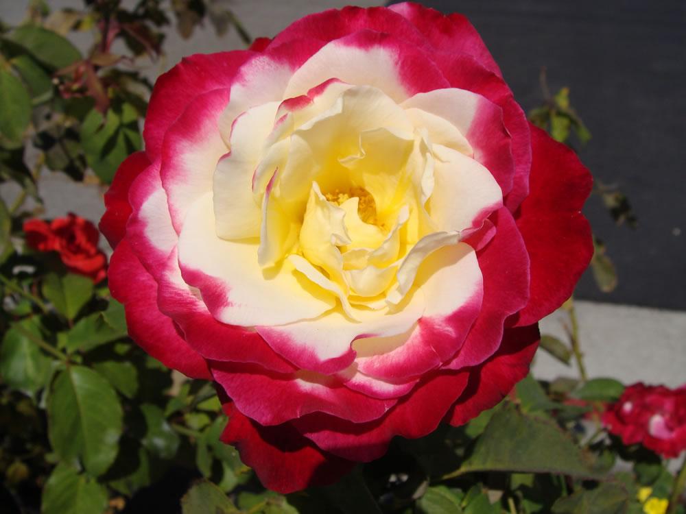 Plants flowers rose paradise rosa double delight rosa double delight rosa double delight mightylinksfo