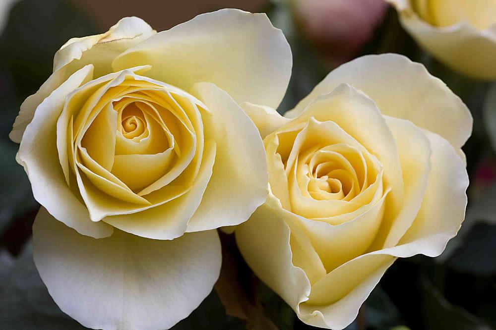 Plants Flowers Rosa Double Delight