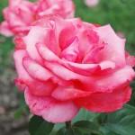 Rosa Friendship