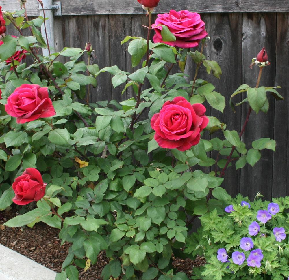 Plants Amp Flowers 187 Hybrid Tea Roses