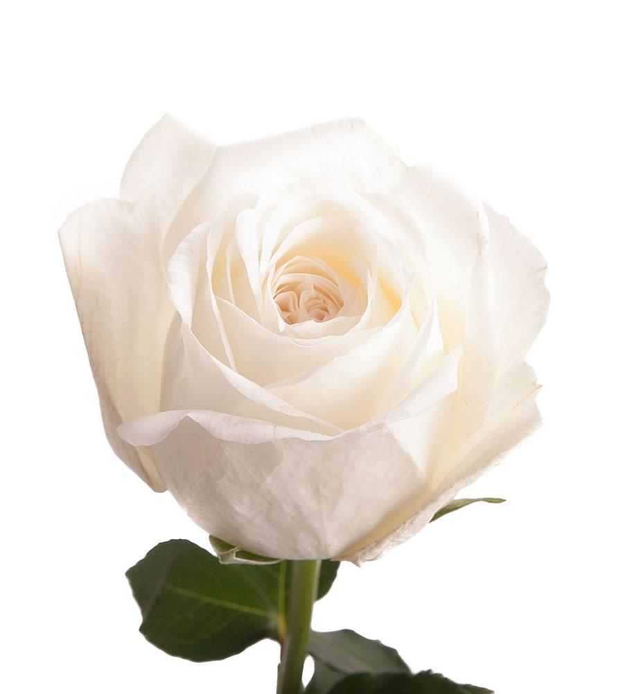Plants Amp Flowers 187 Rose Paradise