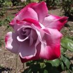 Rose Paradise