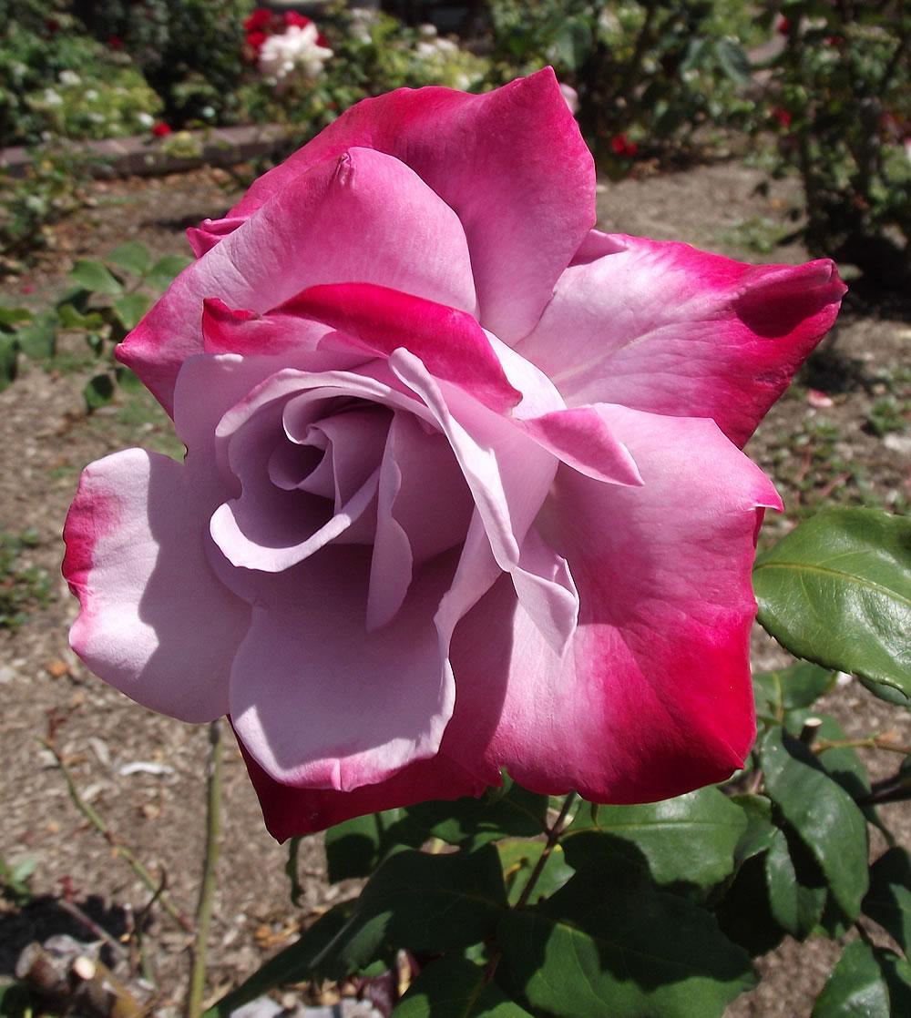 Plants & Flowers » Rose Paradise