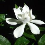 Gardenia jasminoides Veitchii
