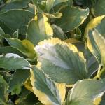 Hydrangea macrophylla Lemon Wave