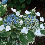 Hydrangea macrophylla Mariesii Variegata