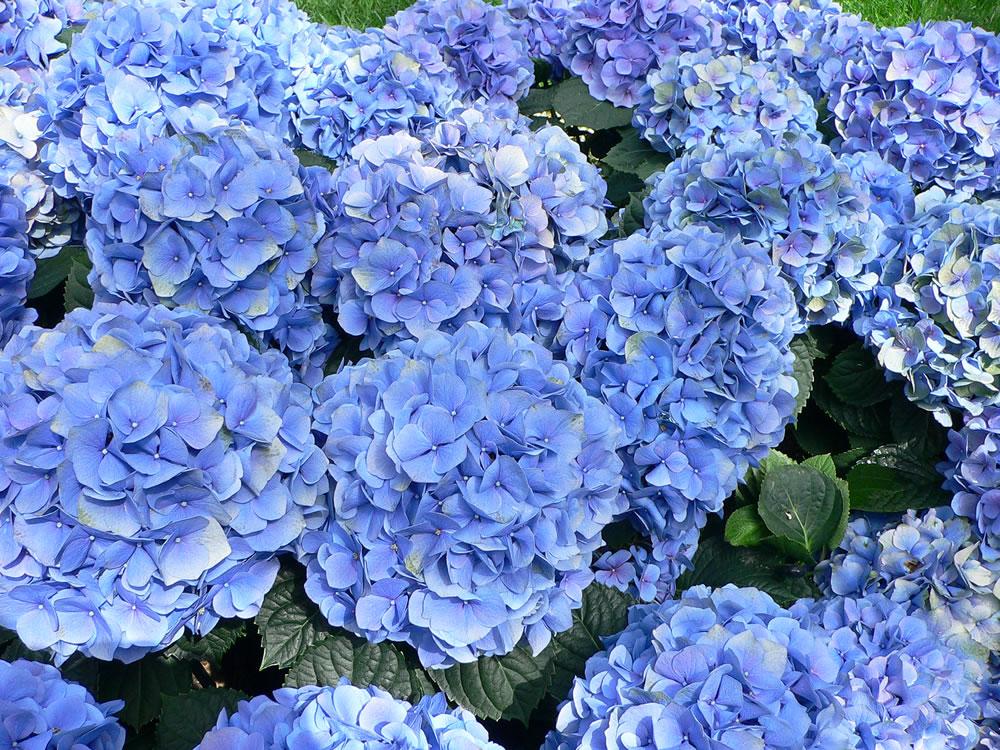 Plants & Flowers » Bigleaf Hydrangea  Blue