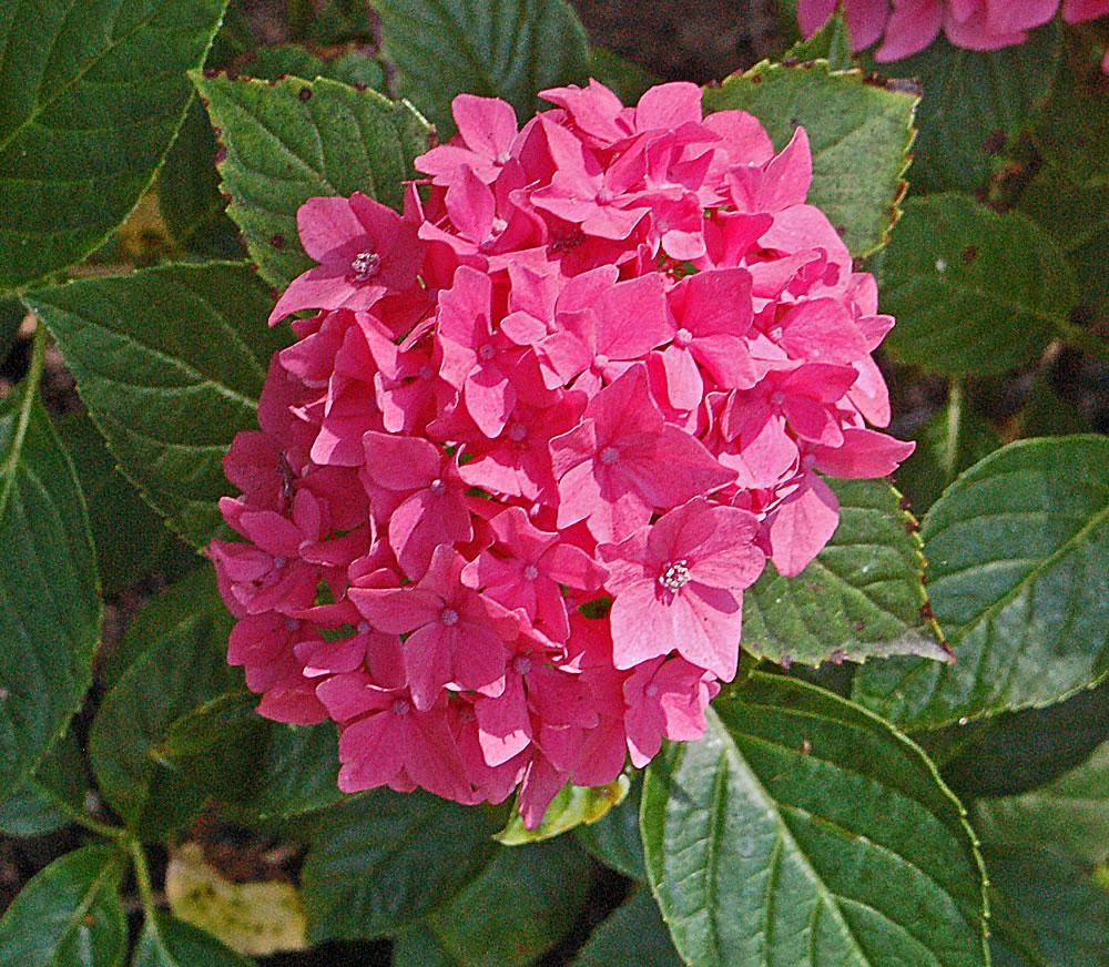 Plant Hydrangeas: Plants & Flowers » Hydrangea Macrophylla