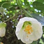 Abutilon hybridum Boule de Neige