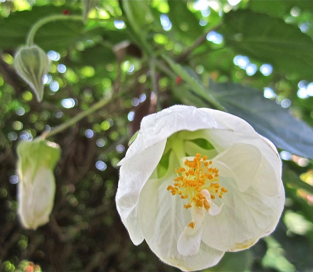 Plants Flowers Abutilon Hybridum