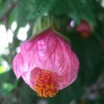 Abutilon hybridum Master Hugh