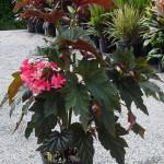 Begonia coccinea Lana