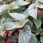 Begonia coccinea Sinbad